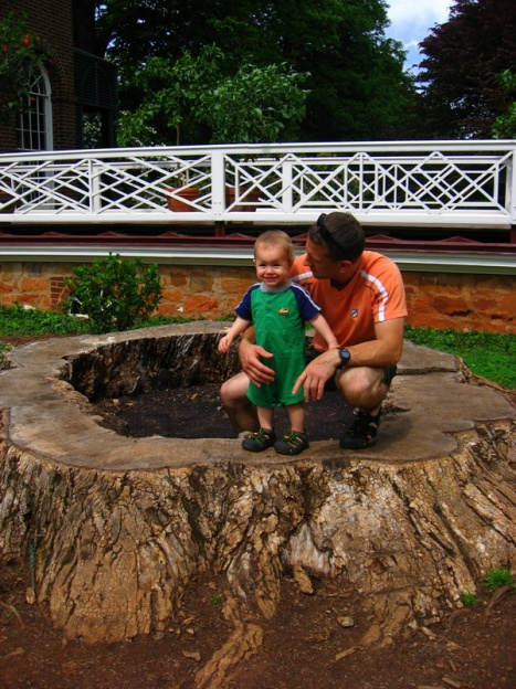 Very large poplar tree stump at Monticello
