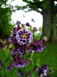 purple flower at Monticello