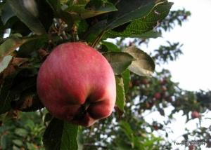 fresh pick apple